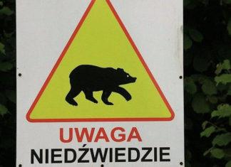 W Bieszczadach można spotkać niedźwiedzia