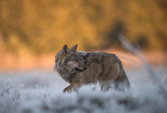 Problem z dziką zwierzyną w Bieszczadach